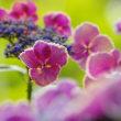 幸手権現堂公園の紫陽花