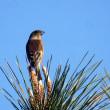 11/20探鳥記録写真-2(はまゆう公園の鳥たち:ジョウビタキ、カワラヒワ)
