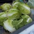 雪をかき分け野菜を収穫(その2終わり)