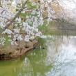 東信濃路の春・・・桜めぐり・・・上田城の千本桜満開