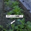 彼岸花咲いた(^O^)哀れな姿の水菜( ̄▽ ̄;)