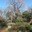 六義園の枝垂れ桜 「咲き始め」