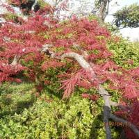 家の庭、桜散る!