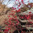 豪徳寺の梅の花
