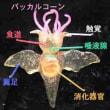 クリオネ(Clione)…裸亀貝・Κλει・Clio)