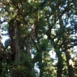 福島県喜多方市、熱塩加納温泉神社の大杉です!!