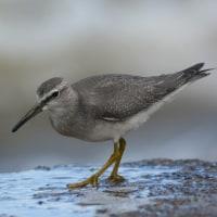 キアシシギ 幼鳥