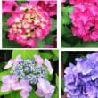 庭の≪紫陽花≫
