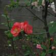 クサボケはボケの花そのもの