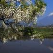 富士山 「 藤と富士山 」  地元撮影ポイントから  第三段 今春ラスト (*^。^*)