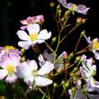 庭のツクシイバラ