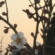 あまりにも暖かいので、思わず咲いてしまった梅の花!