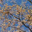 栴檀の実が冬の空いっぱいになっていました