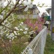 農工大で 桃の花 が盛り! 桃の節句は何時だった?