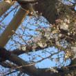 うちの桜 開花宣言 & 内科医院の壁掛け