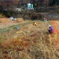 大地の再生&自然菜園コラボ講座12月(1日目稲刈り、2日目ライ麦で自然耕&苗代づくり)