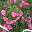 まだ楽しませてくれる代々木公園の薔薇