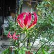 こちらも咲きました。 グロリオーサの花