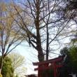 秦野桜散歩3白笹稲荷神社