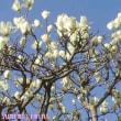 春分3日目、鶯の聲聞きし♪:。・゜♪:。・゜♪:。・゜♪:。・゜♪