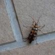 オオヨツスジハナカミキリ Longhorn beetle