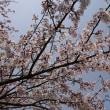 お花見@福田公園