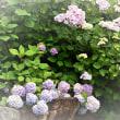 長慶寺のアジサイの花