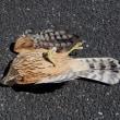 猛禽類を保護し病院へ