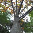 ★朴の木の根本に一見美味しそうなキノコ 2018