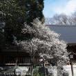 乃木神社、香梅の季節。