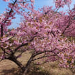 津久見市四浦半島の河津桜