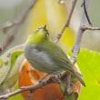 柿メジロ(Audubon Photography Awards)