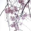 桜の季節がやって来た