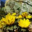 春の日差しを浴びて(赤塚植物園のフクジュソウ 2019.2.21 撮影)