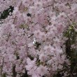 妙見神社の菊桃としだれ桜