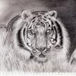 トラの鉛筆画