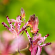 2017秋の花庭園にホトトギス咲く 《福岡市東区筥崎花庭園》