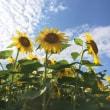 向日葵、向日葵、向日葵・・・