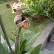 アマリリスが種を付けました。
