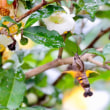 メキシカンセージと茶の花の蜜を吸うホシホウジャク