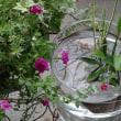ヒメダカと水生植物
