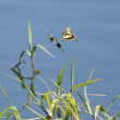 キアゲハの飛翔、カヤキリ、カゲロウ