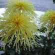 大輪菊の展示
