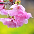 志摩横山の陽光桜咲く (創造の森)