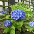 何とも言えない素敵なブルーの紫陽花です。 (2018年6月2日撮影)