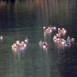 12/17探鳥記録写真(響灘緑地の某池:オシドリの群れ)