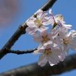 高尾さくら公園で咲く「ベニヤマザクラ」(その2) !!
