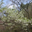 妙見山で桜ざんまい