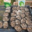ハクサイ キャベツの種を蒔きました