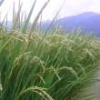 稲の成長報告🌾